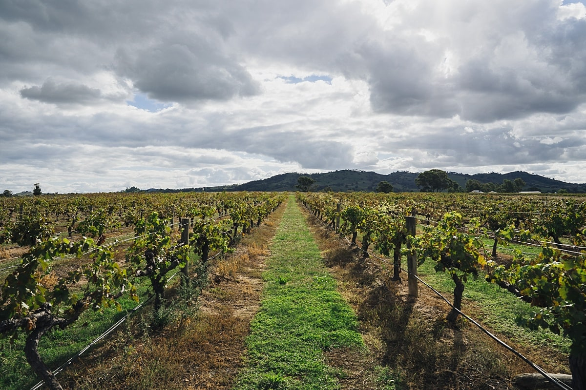 The vineyard at Burnbrae Wines